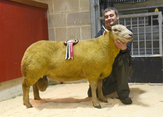 Mark Worthington with his Charollais sheep champion. Picture, Adrian Legge Photography