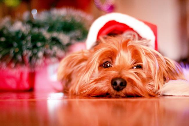 7 Christmas foods that are dangerous to dogs