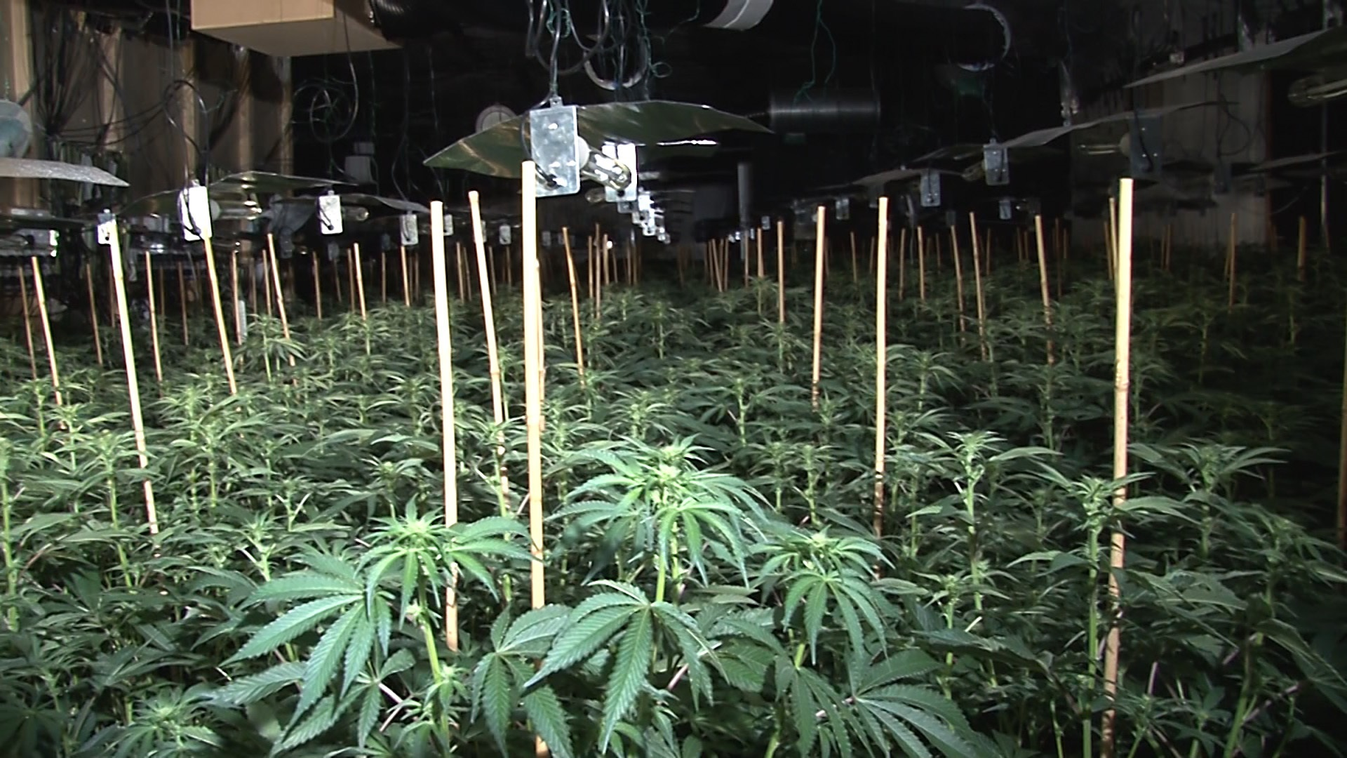 Cannabis plants found at the site