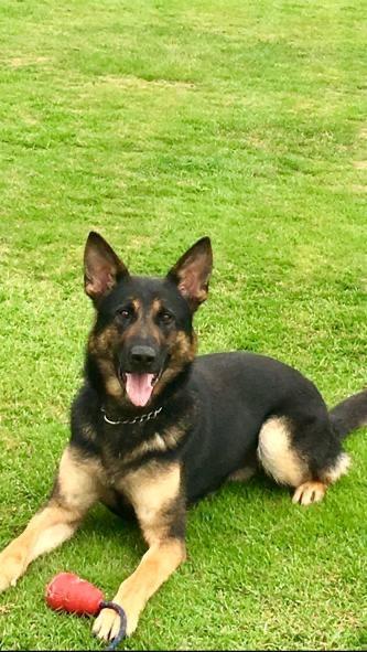 Bury Times: Police dog Jax who caught Lowthian