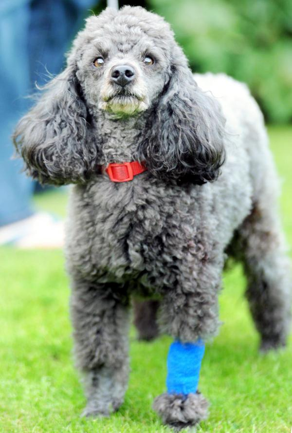 Woman injured as stray dog mauls her poodle