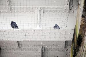 Pigeon rescued by firefighters after 36 hours trapped in wire mesh